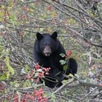 Ein Bär in Seward