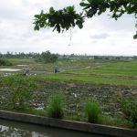 Canggu Reisfelder