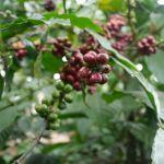 Da Lat - Die Kaffeeplantage Me Linh