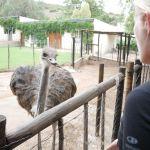 Cango Ostrich Farm